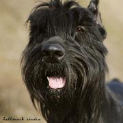 Дрессировка собак всех пород в Чугуеве