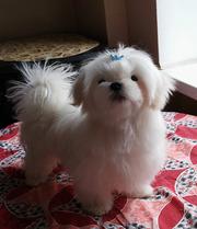 Четырехмесячный щенок мальтезе,  вырастет до 2 кг.