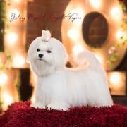 красивый щенок для выставок и разведения!