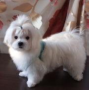 Щенок мальтезе – мальчик – миник - 4, 5 месяца.