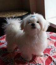 Продается белоснежный щенок мальтезе,  с беби-фейс