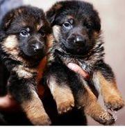 Очаровательные Щенки немецкой овчарки в помете: 2 девочки и 1 мальчик