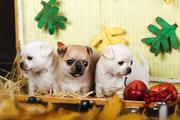 Продам чудесных щенков чихуахуа