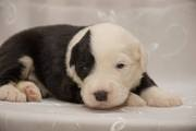 Продаются щенки Бобтейла! Puppy for sale