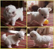 Продаются белоснежные щенки мальтезе,  с беби-фейс