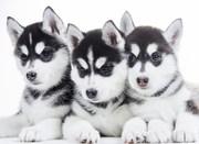 Продажа щенков Сибирский Хаски