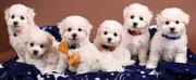 Продам щеночков елитной породы Бишон фризе