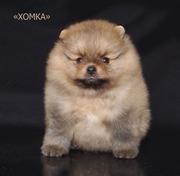 Очаровательные померанские шпицы щенки