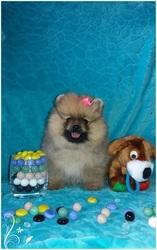 Померанский шпиц щенки-девченки , есть кобель для вязки.Разв