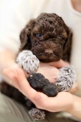 Продам щеночков  редкой породы Лаготто-романьоло с родословной