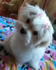 Трехмесячная девочка- мини – щенок мальтезе.