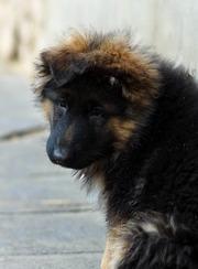 Длинношёрстные щенки немецкой овчарки