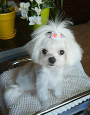 Продается девочка-мини-1, 7 кг,  возраст-1 год,  ушки белые,  короткий нос