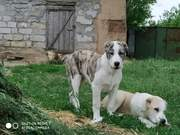 Продам щенков среднеазиатской овчарки возраст 4 месяца.